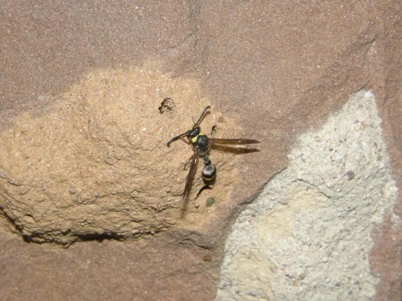 quel insecte fait son nid avec de la terre. Black Bedroom Furniture Sets. Home Design Ideas