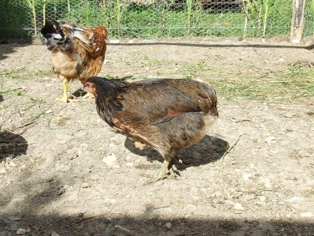 Oeuf de poule marans for Prix d une poule