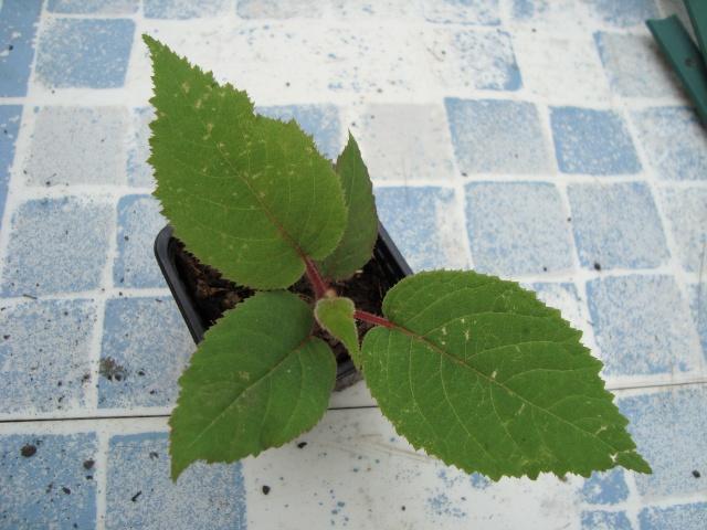 Demande conseil kiwi au jardin forum de jardinage - Comment pousse les kiwi ...