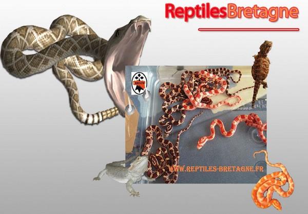 Reptiles-bretagne