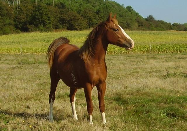 cheval arabe quarter