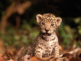 Animaux d 39 afrique sur poney academy jeu gratuit poneys pour petits et grands - Bebe du jaguar ...