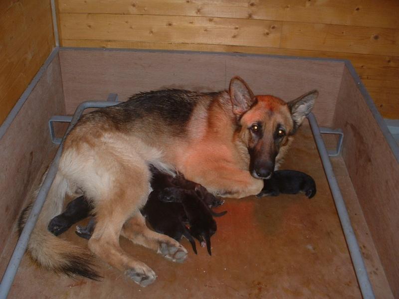 Forum du chien de berger allemand / caisse mise bas