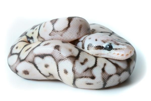 sterling pastel ball python