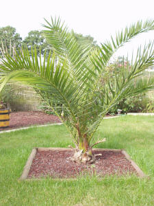Phoenix canariensis for Comment planter un palmier en pot