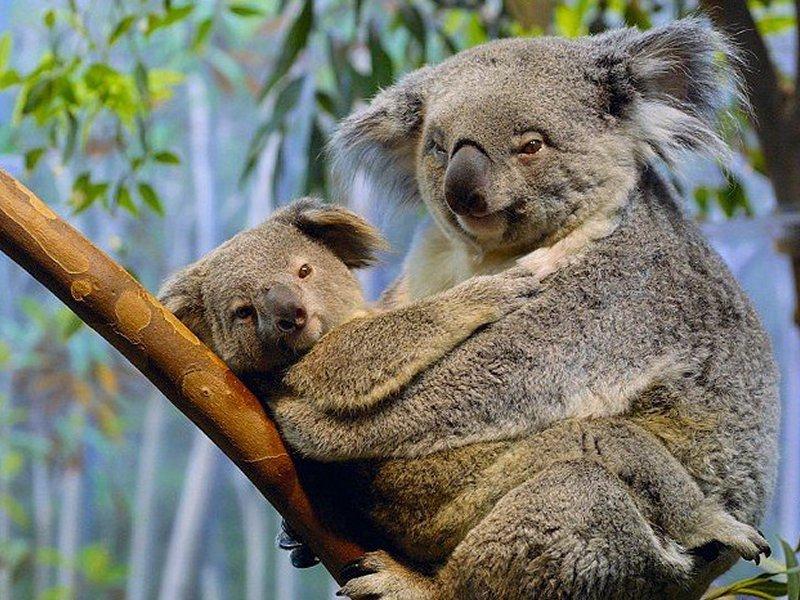 http://i88.servimg.com/u/f88/14/18/14/45/koala10.jpg