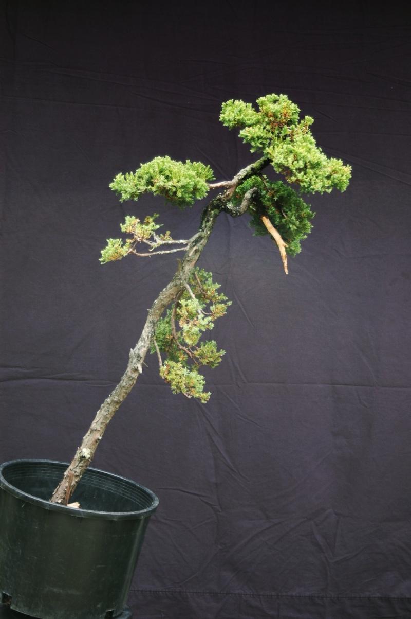 Juniperus procumbens literati for Literati bonsai gallery