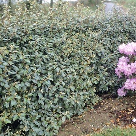 Elaeagnus angustifolia - Arbustes a feuillage persistant croissance rapide ...